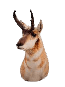 public land pronghorn hunting Pronghorn Decoy | Pure Hunting